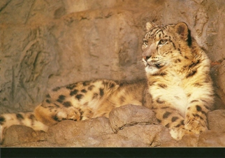 21x Postcard of  snow leopard (Uncia uncia or Panthera uncia)